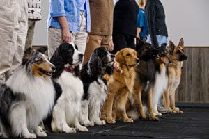 Finding The Right Dog Obedience Course Cesar S Way