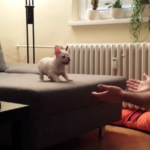 French Bulldog Puppy Trusts Daddy And Attempts To Jump Into His Arms